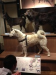 This is the preserved body of the famous Japanese dog, Hachiko.